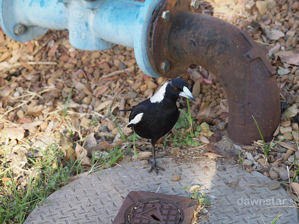 Never piss off a one-legged magpie